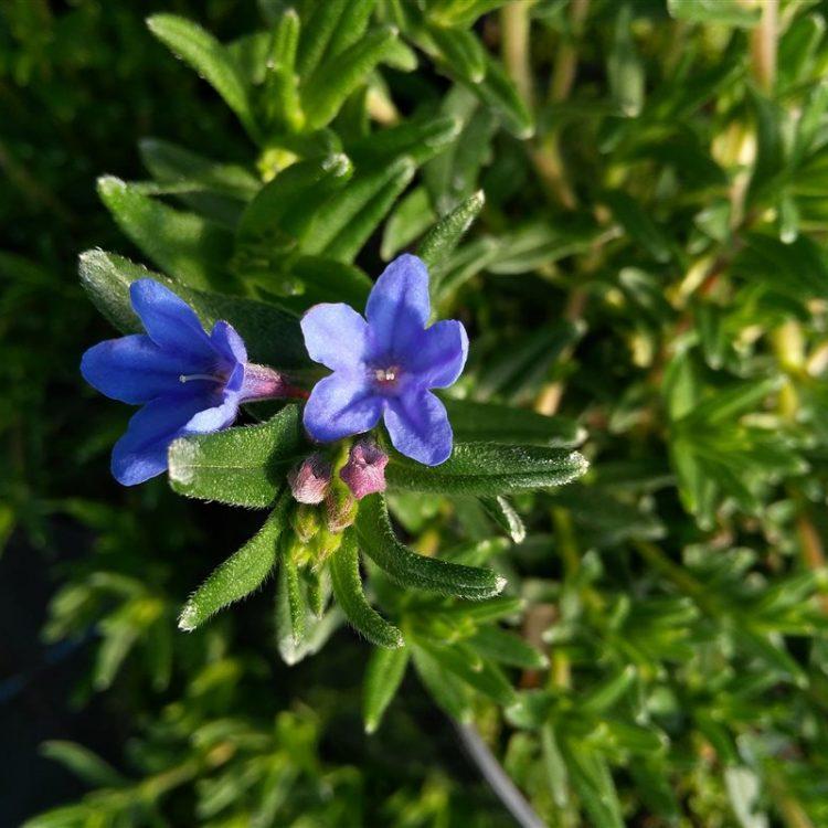 Lithodora d. 'Heavenly Blue' picture 2