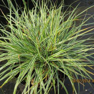 Carex oshim. Everest