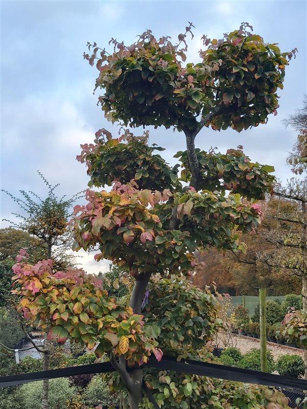 Parrotia persica picture 5