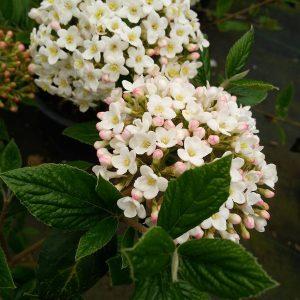 Viburnum burkwoodii*