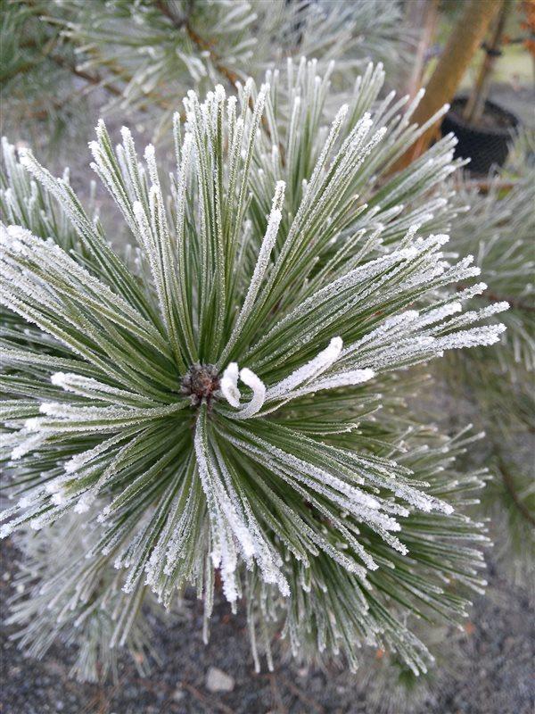 Pinus nigra picture 2