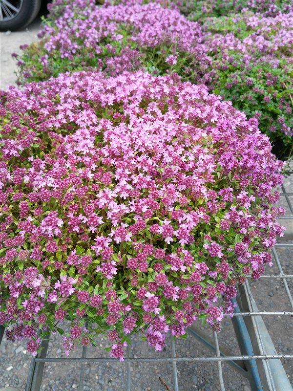 Thymus serpyllum picture 2
