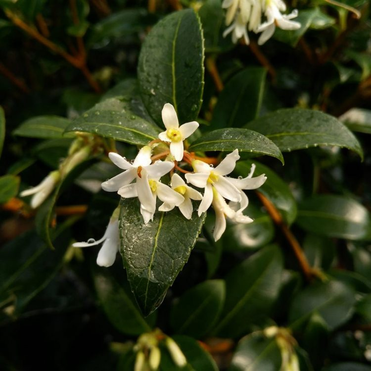 Osmanthus x burkwoodii picture 4
