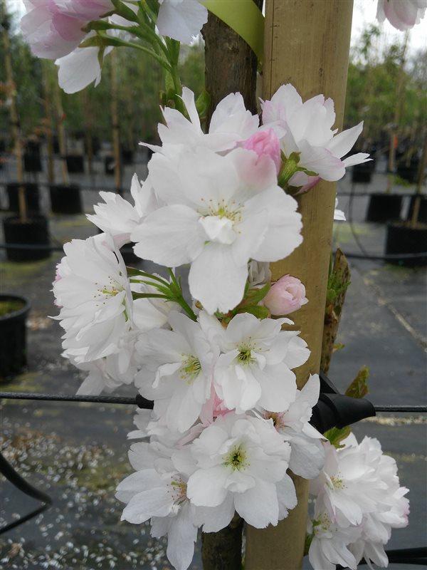 Prunus serr. 'Amanogawa' picture 4