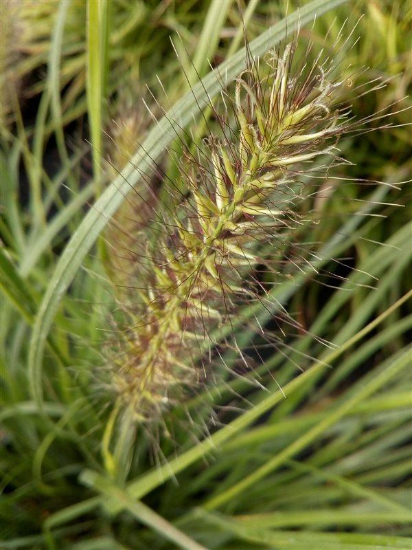 Pennisetum al. 'Hameln' picture 4