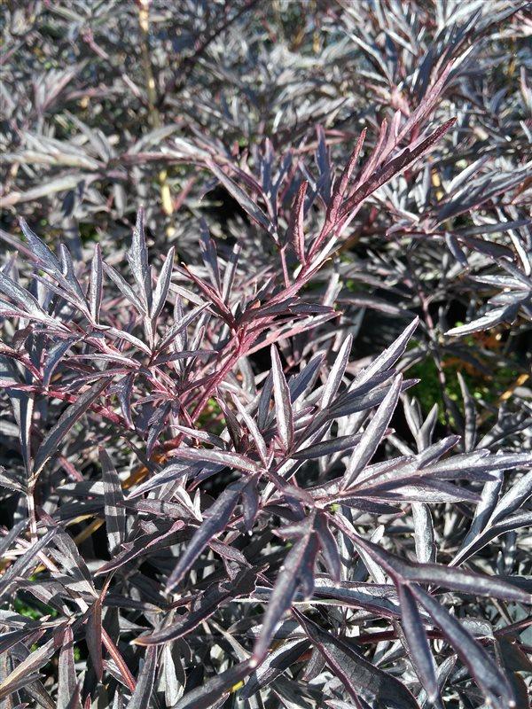 Sambucus nigra Black Lace picture 2