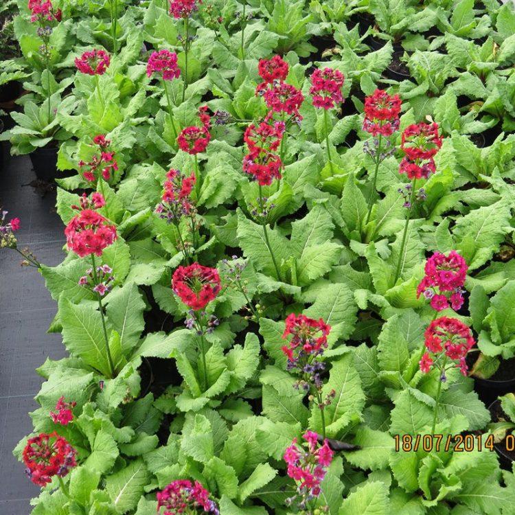 Primula japonica 'Miller's Crimson' picture 2