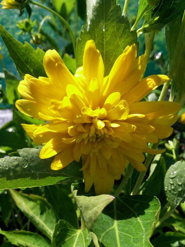 Rudbeckia laciniata Goldquelle picture 3