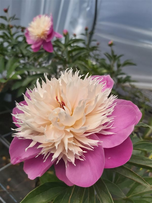 Paeonia (LE) 'Bowl of Beauty' picture 2