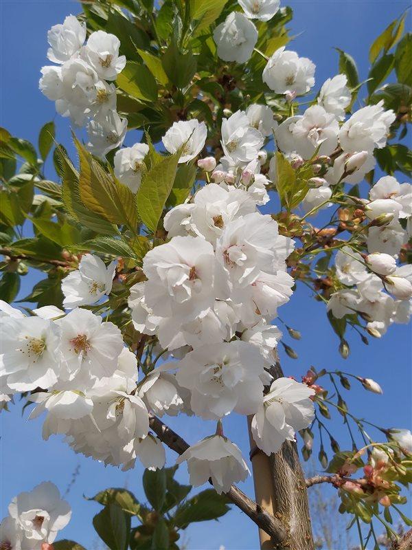 Prunus serr. 'Shirotae' picture 3