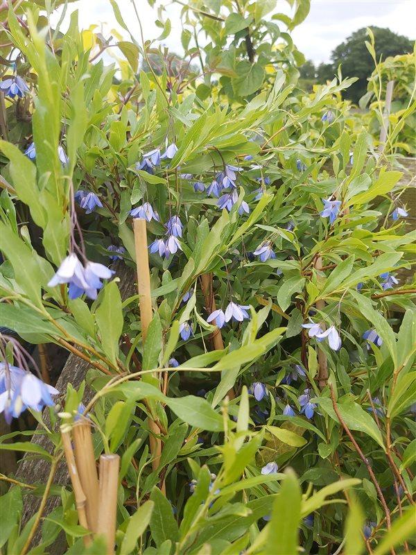Sollya heterophylla picture 3