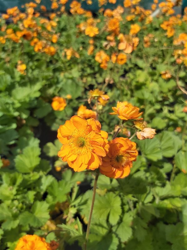 Geum 'Fire Storm' picture 3