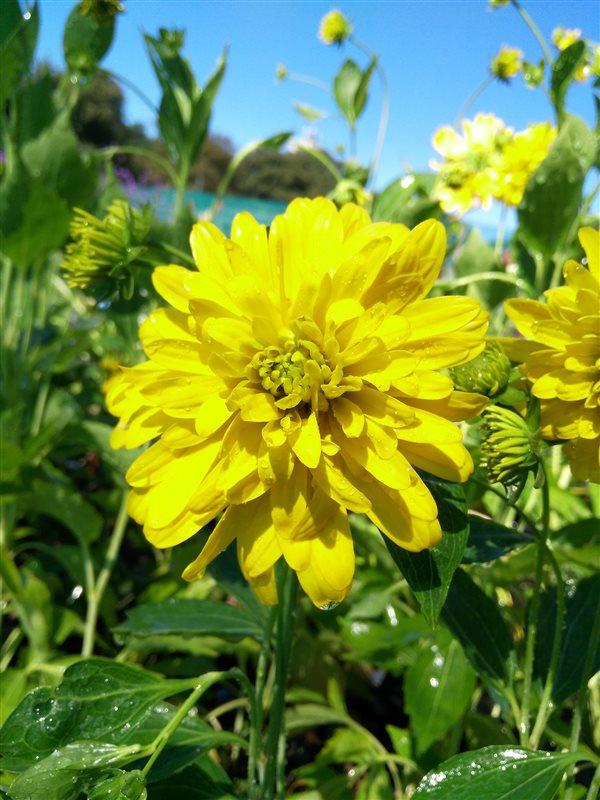 Rudbeckia laciniata Goldquelle picture 2