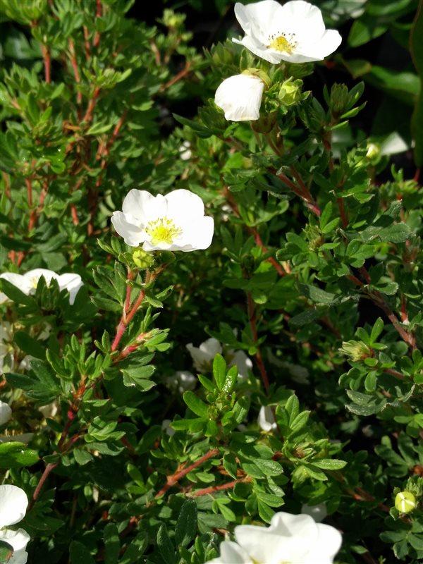 Potentilla f. 'Abbotswood' picture 2