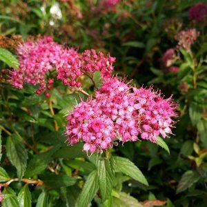 Spiraea japonica 'Anthony Waterer'