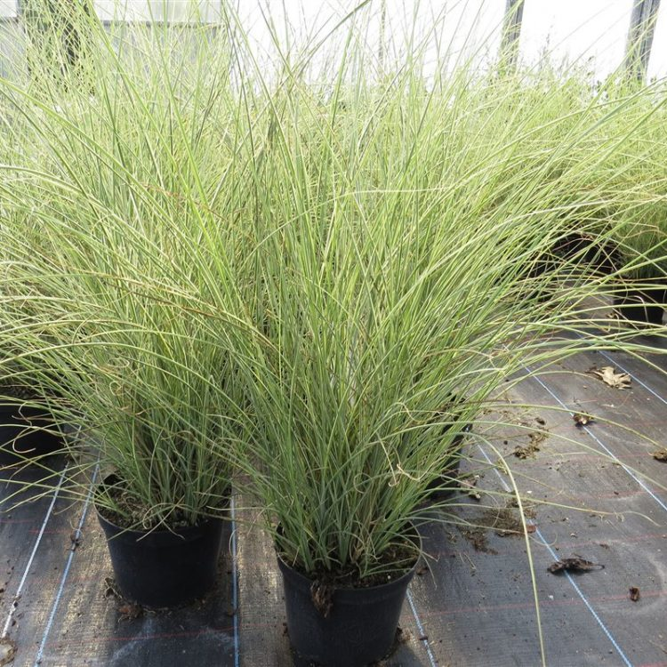 Miscanthus sin. 'Morning Light' picture 3