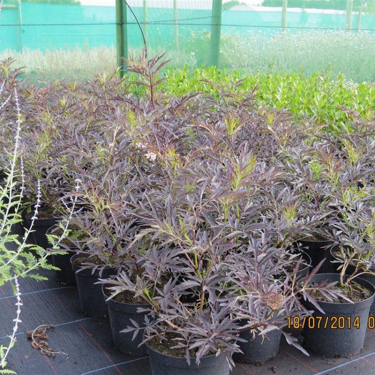 Sambucus nigra Black Lace picture 3