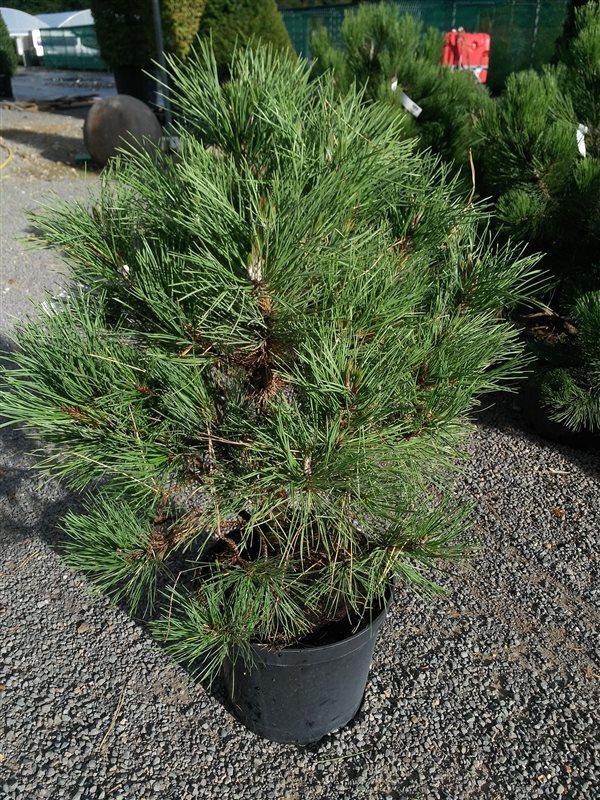 Pinus syl. 'Xawery'