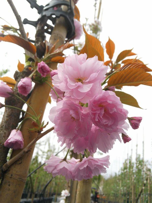 Prunus serr. 'Kanzan' picture 3