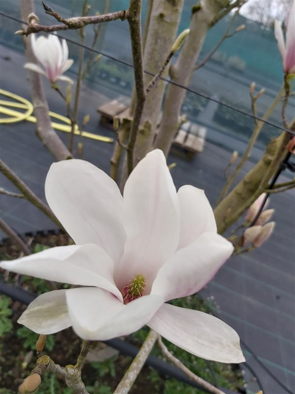 Magnolia soulangeana picture 2