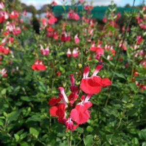 Salvia micr. 'Hot Lips'