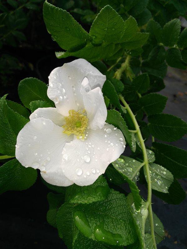 Rosa rugosa picture 3