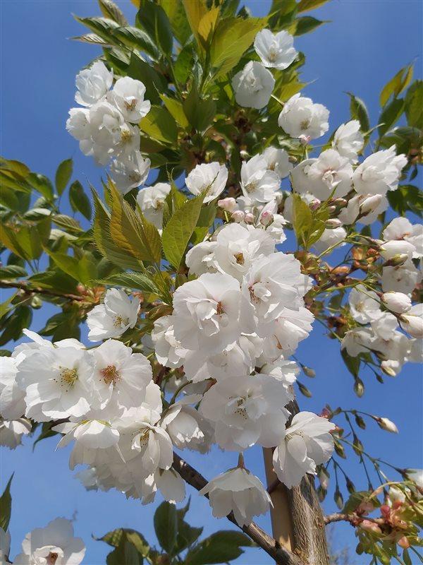 Prunus serr. 'Shirotae' picture 4