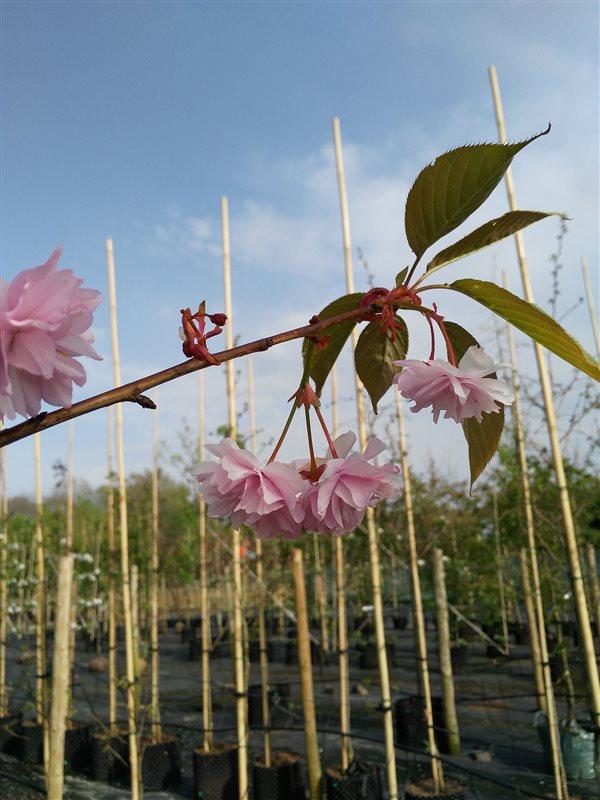 Prunus serr. 'Kanzan' picture 6