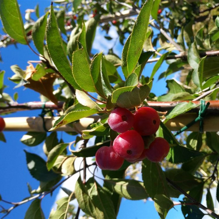Malus hupehensis picture 2