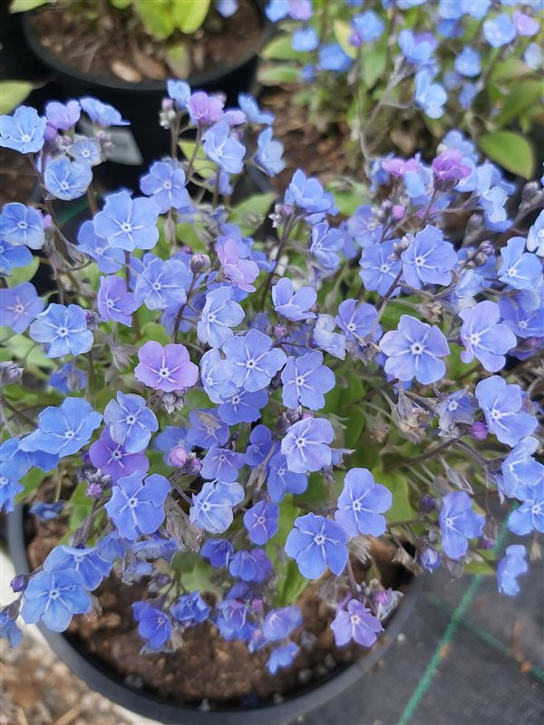 Omphalodes capp. 'Cherry Ingram' picture 4