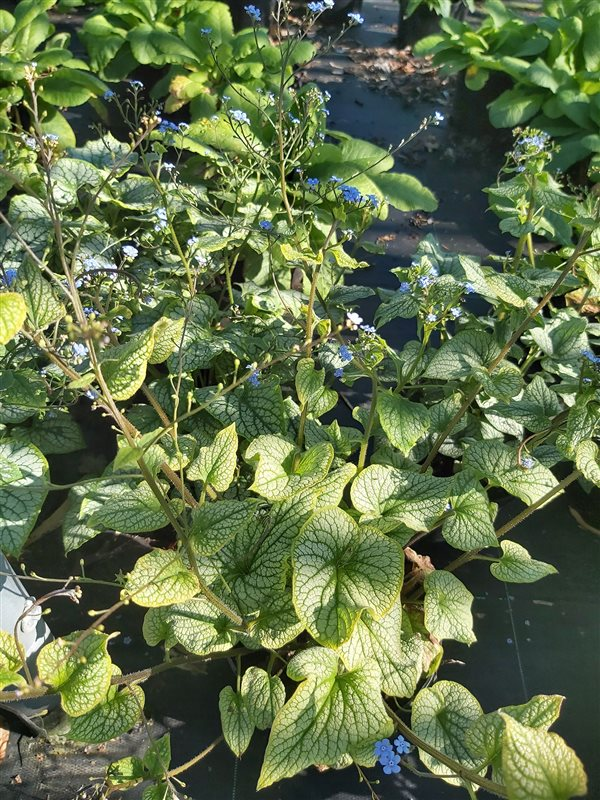 Brunnera macr. 'Jack Frost' picture 5