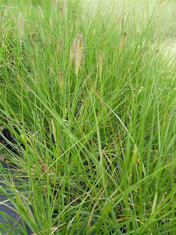 Pennisetum al. 'Hameln' picture 5