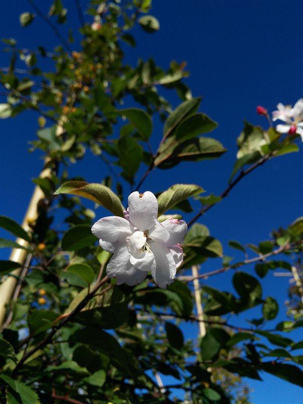 Malus floribunda picture 4