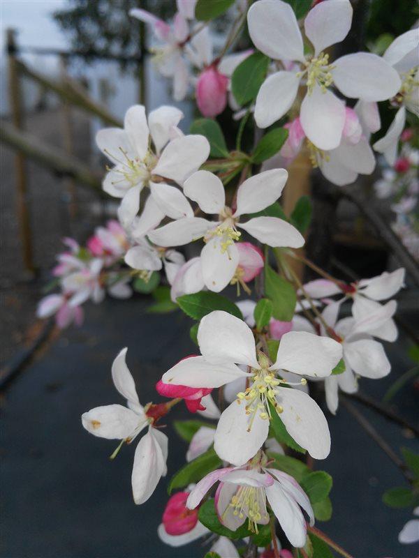 Malus floribunda picture 3