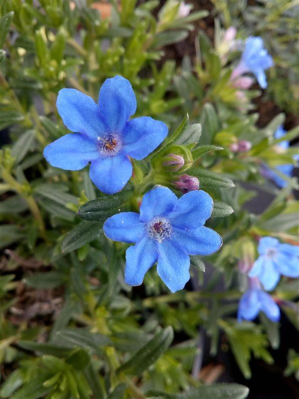 Lithodora d. 'Heavenly Blue' picture 5
