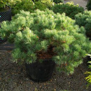 Pinus parv. Iona