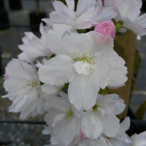 Prunus serr. 'Amanogawa'
