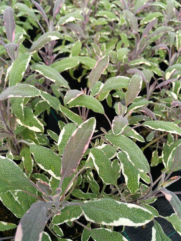 Salvia off. 'Tricolor' picture 3