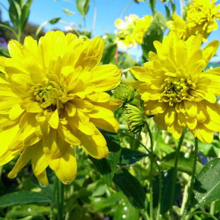 Rudbeckia laciniata Goldquelle picture 5