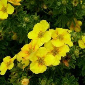Deutzia hybrida 'Mont Rose'