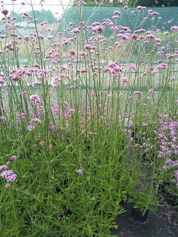 Verbena bonariensis picture 5