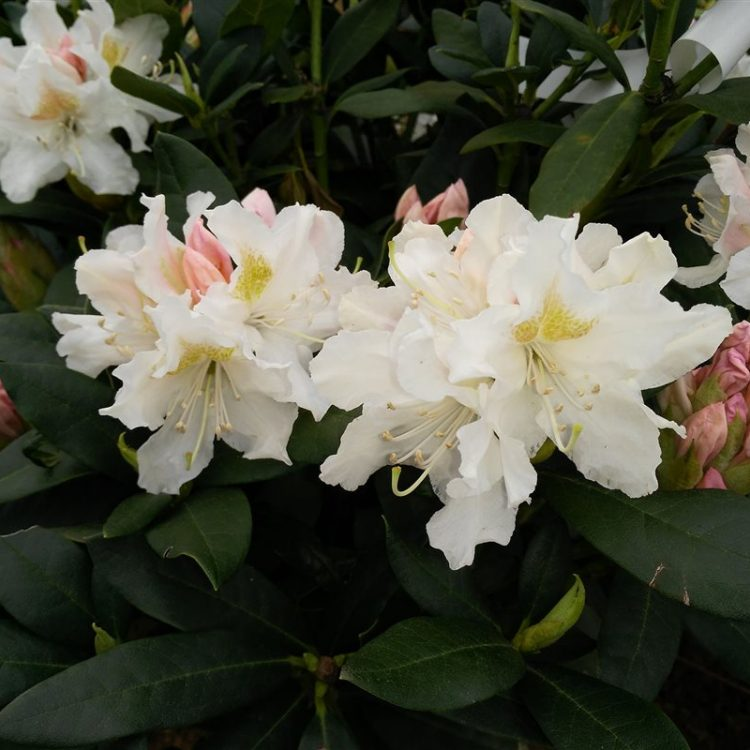Rhododendron 'Cunningham's White' picture 4