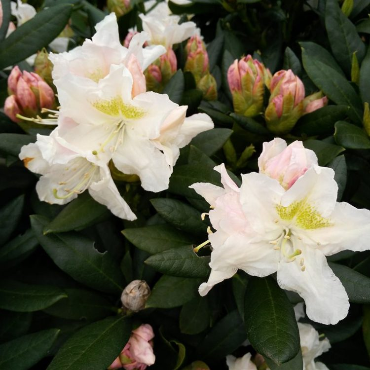 Rhododendron 'Cunningham's White' picture 2