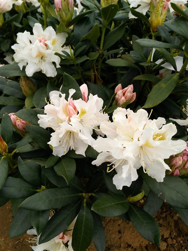 Rhododendron 'Cunningham's White' picture 3