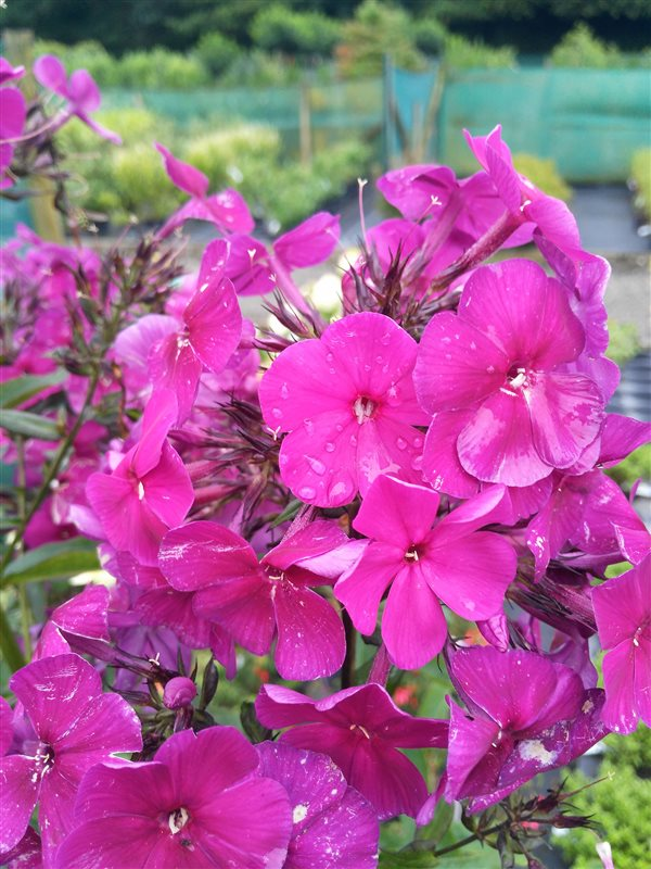 Phlox (P) 'Nicky' picture 4