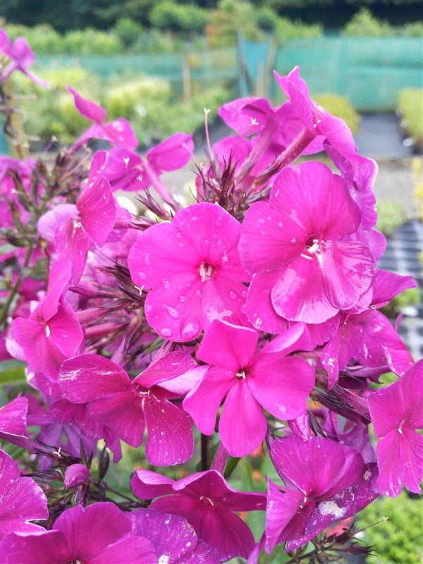 Phlox (P) 'Nicky' picture 5