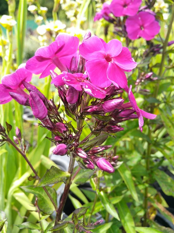Phlox (P) 'Nicky' picture 2