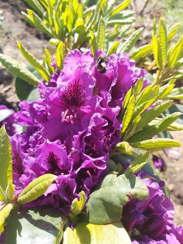 Rhododendron 'Azurro' picture 3