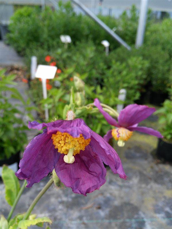 Meconopsis 'Hensol Violet'