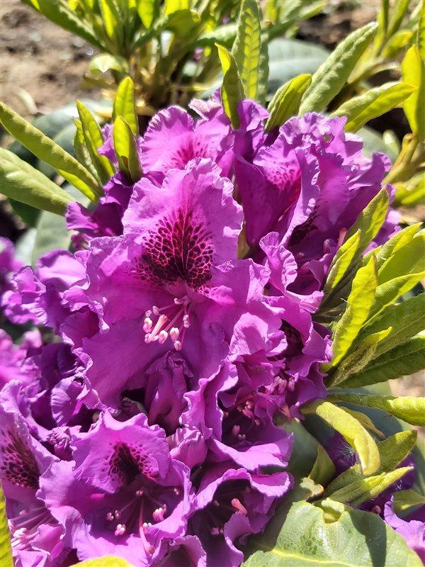Rhododendron 'Azurro' picture 4